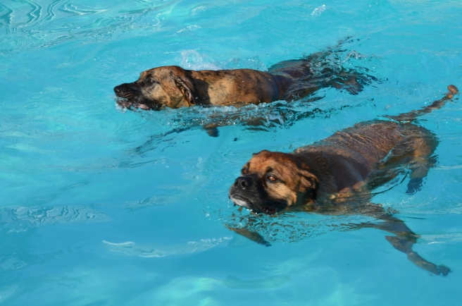 Gunner and Sarge swimming